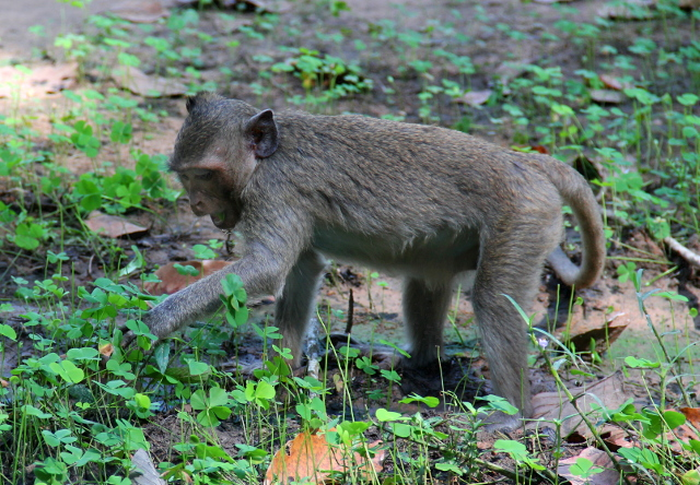 apina-keraa-apiloita