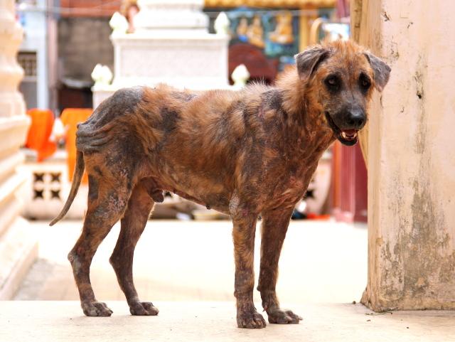 Ihosairas koira temppelillä. Tällaisen saisi hoidettua lääkkeillä.