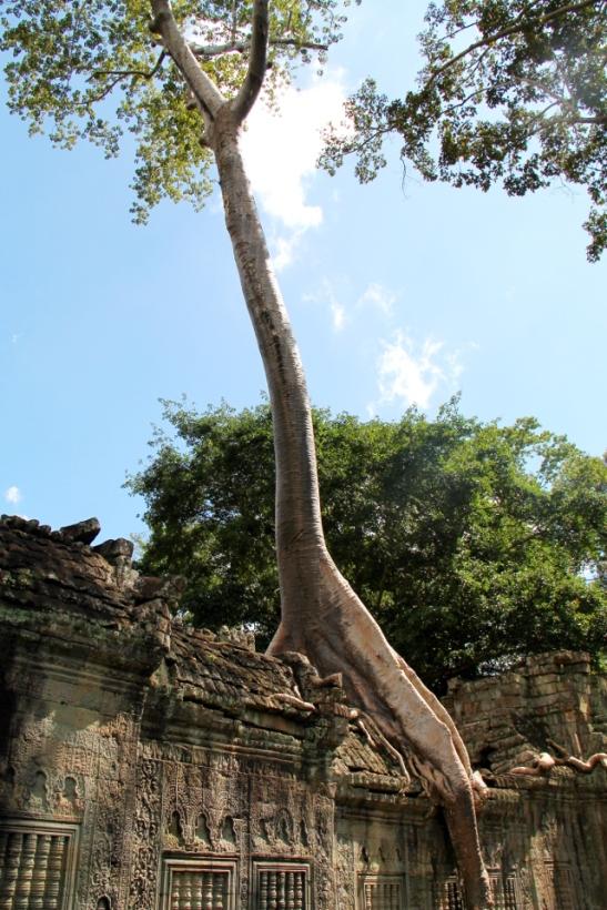 puu-kasvaa-temppeliraunioista