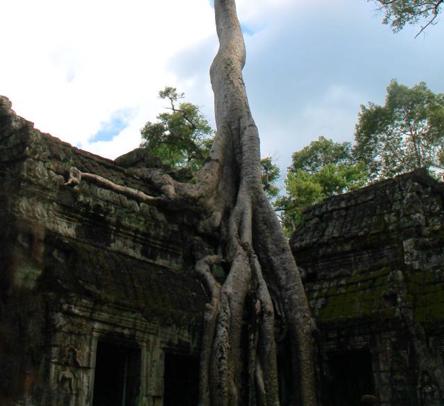 Puun juuret ikään kuin valuvat rauniota pitkin.
