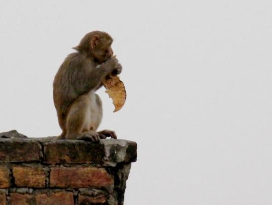 Etenkin iltaisin näkyi apinoita ja niitä saattoi tulla parvekkeellenikin. Silloin pitää lukita ovi.