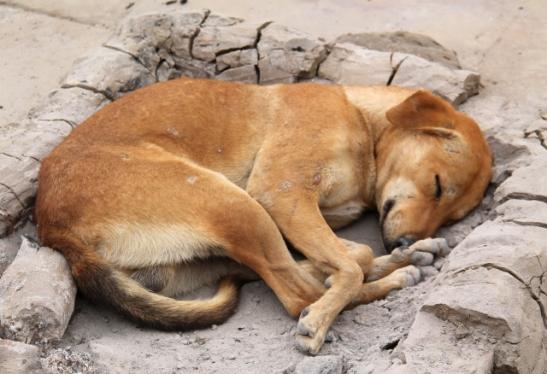 Koira makaamassa lämpimässä nuotiotuhkassa.