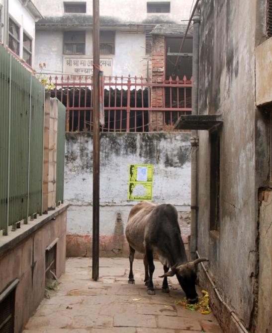 lehma-varanasin-kujalla
