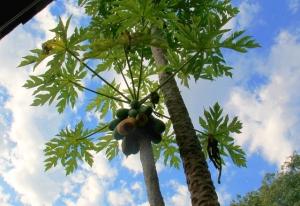 Takapihan papaijapuu. Pettymyksekseni kypsä papaija oli jo aivan syöty.
