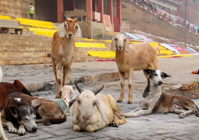 Vuohia ja koiria Harischandra ghatilla.